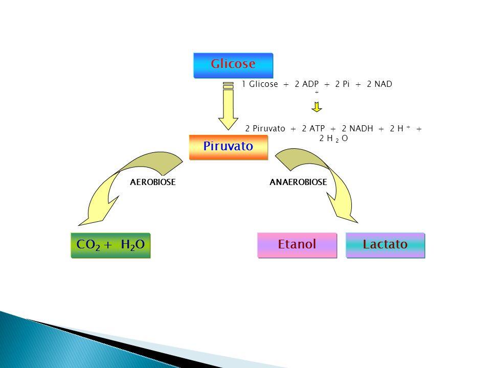 2 Piruvato + 2 ATP + 2 NADH + 2 H + + 2 H 2 O