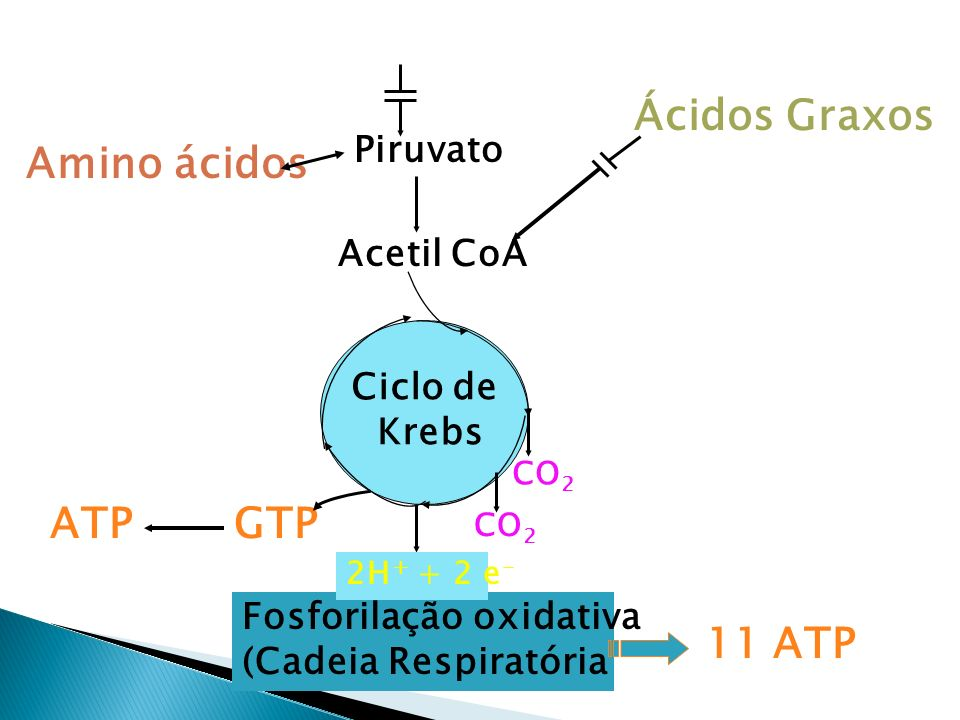 Glicose Ácidos Graxos Amino ácidos ATP GTP 11 ATP Piruvato Acetil CoA