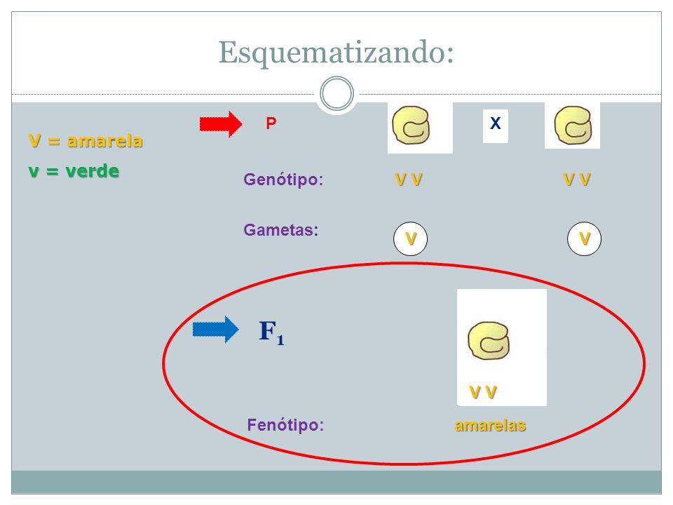 Esquematizando: F1 X P V = amarela v = verde Genótipo: V V Gametas: V