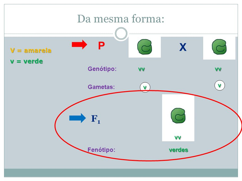 Da mesma forma: P X F1 V = amarela v = verde vv Genótipo: Gametas: v