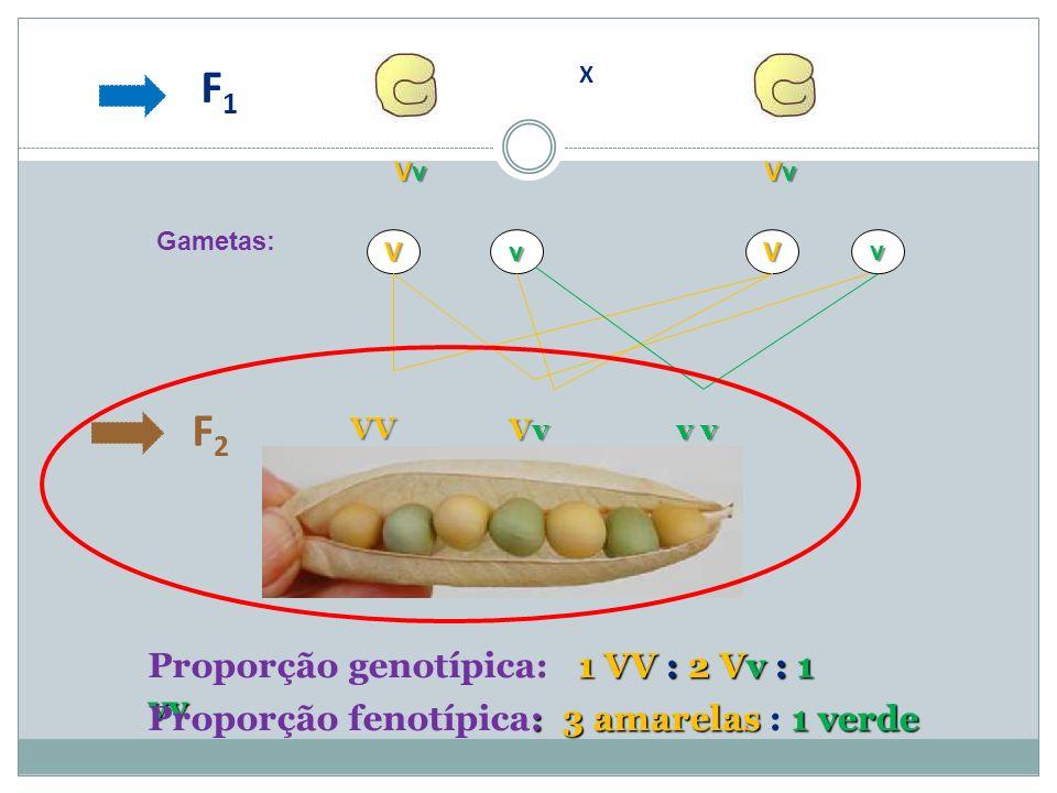 F1 F2 Proporção genotípica: 1 VV : 2 Vv : 1 vv