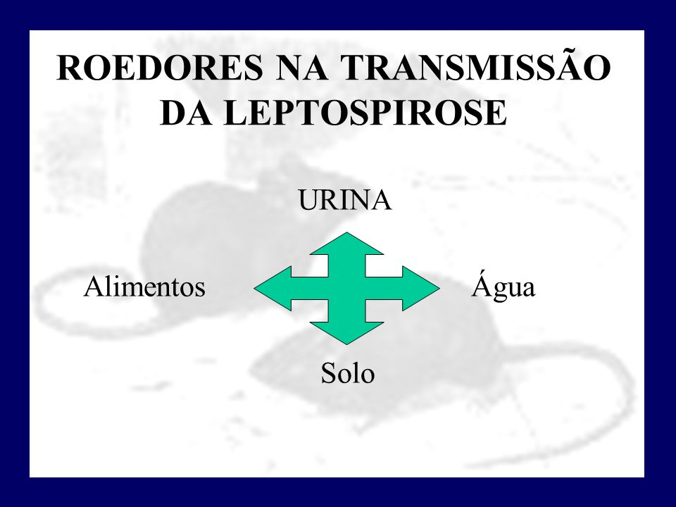 ROEDORES NA TRANSMISSÃO DA LEPTOSPIROSE
