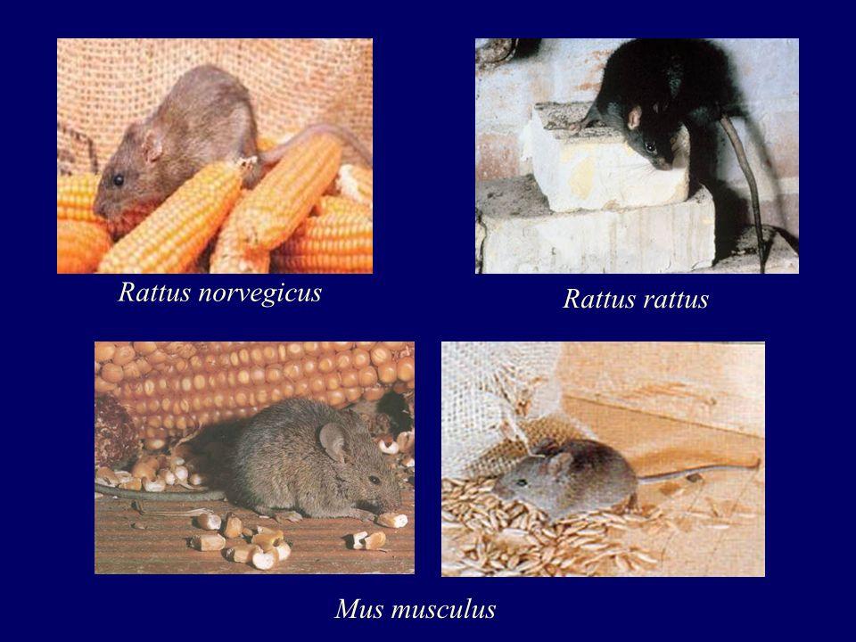 Rattus norvegicus Rattus rattus Mus musculus