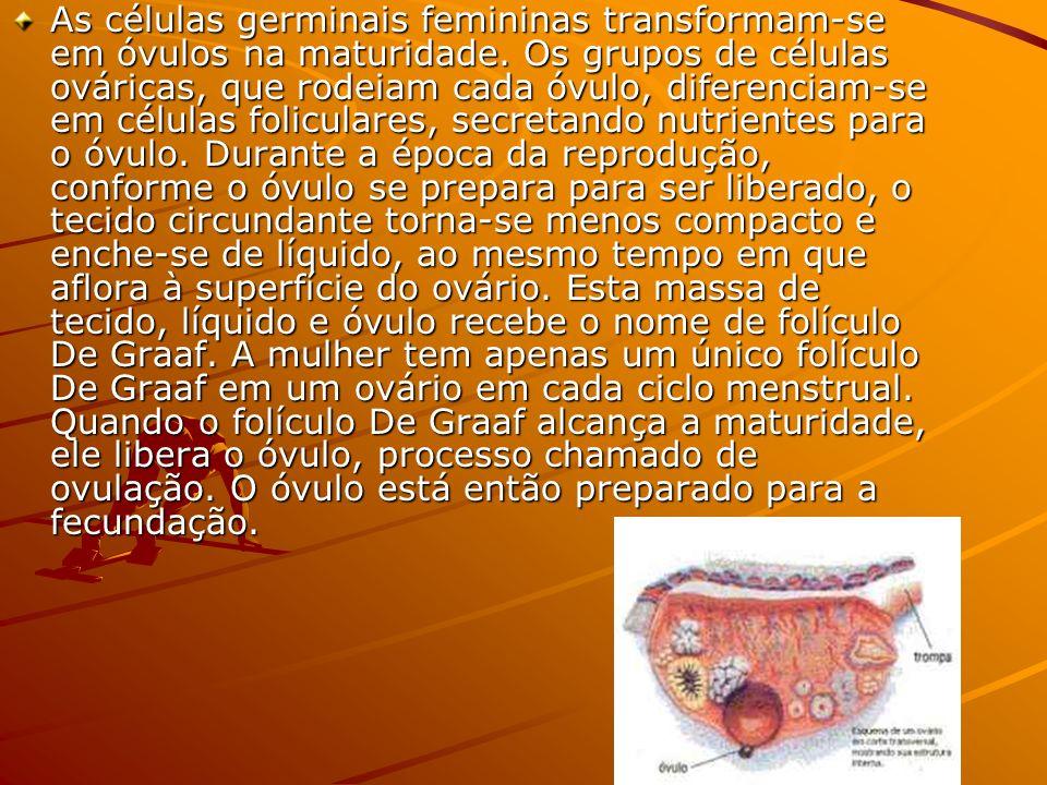 As células germinais femininas transformam-se em óvulos na maturidade