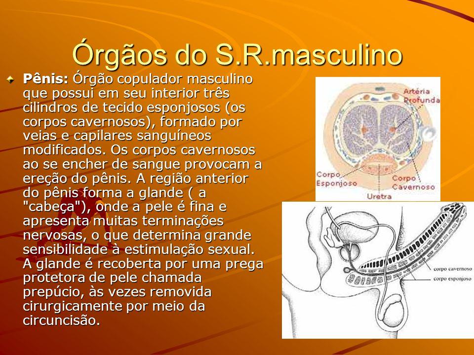 Órgãos do S.R.masculino