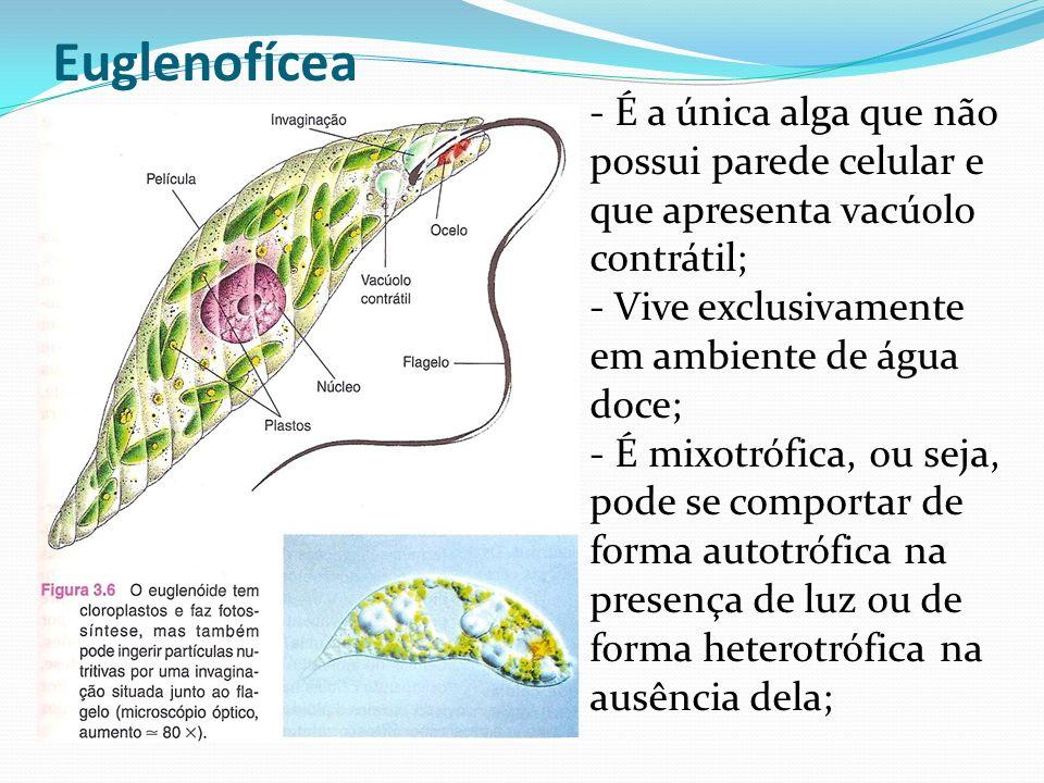 Euglenofícea - É a única alga que não possui parede celular e que apresenta vacúolo contrátil; - Vive exclusivamente em ambiente de água doce;
