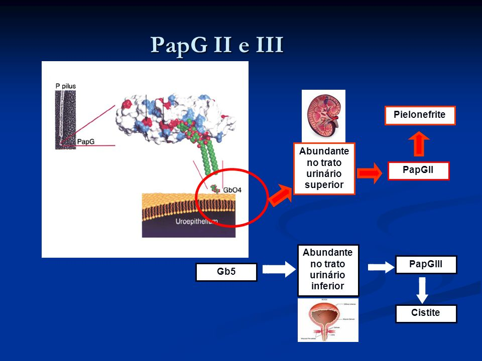 PapG II e III Pielonefrite Abundante no trato urinário superior PapGII