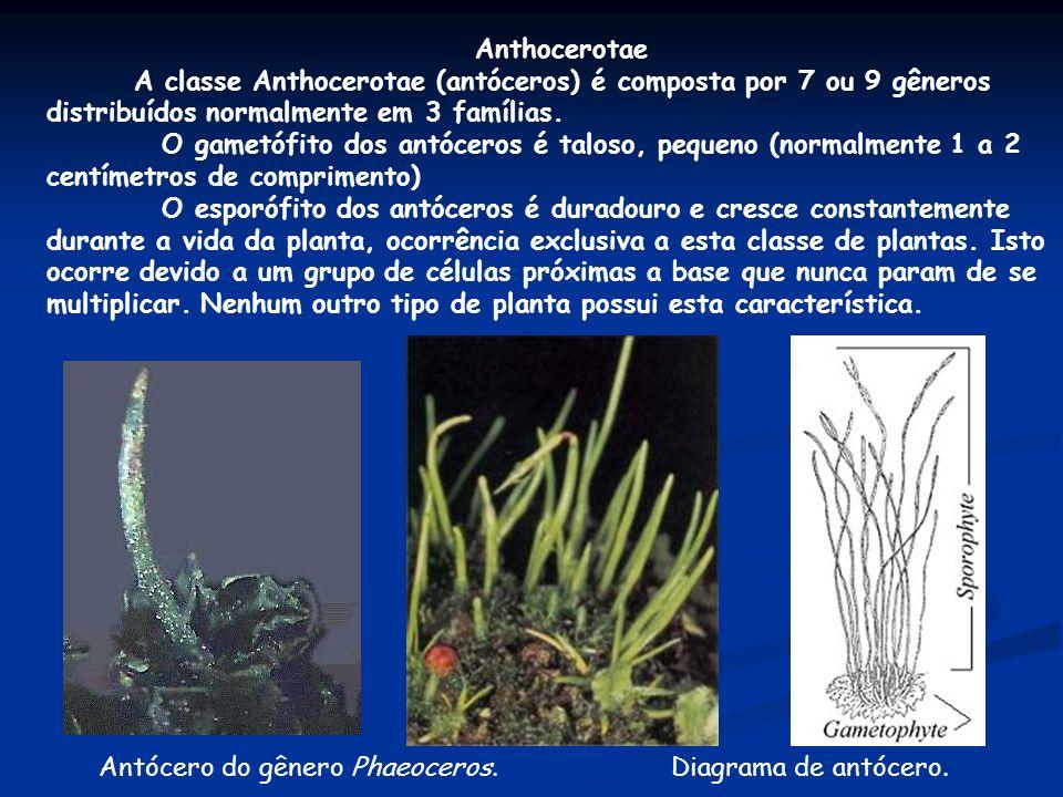 Anthocerotae A classe Anthocerotae (antóceros) é composta por 7 ou 9 gêneros distribuídos normalmente em 3 famílias.