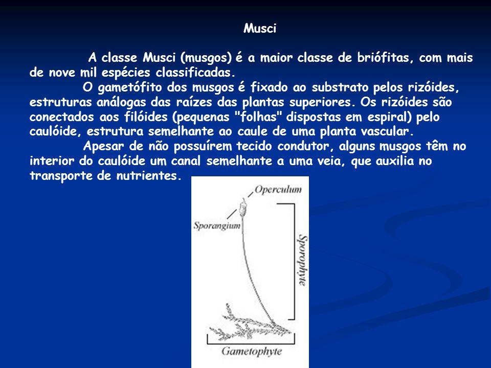 Musci A classe Musci (musgos) é a maior classe de briófitas, com mais de nove mil espécies classificadas.