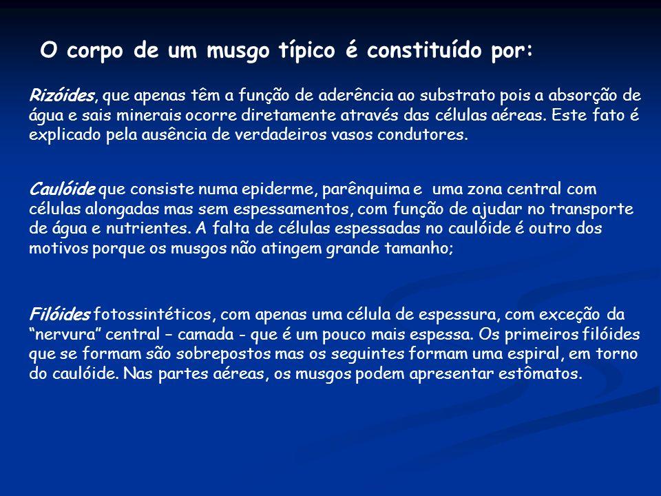 O corpo de um musgo típico é constituído por: