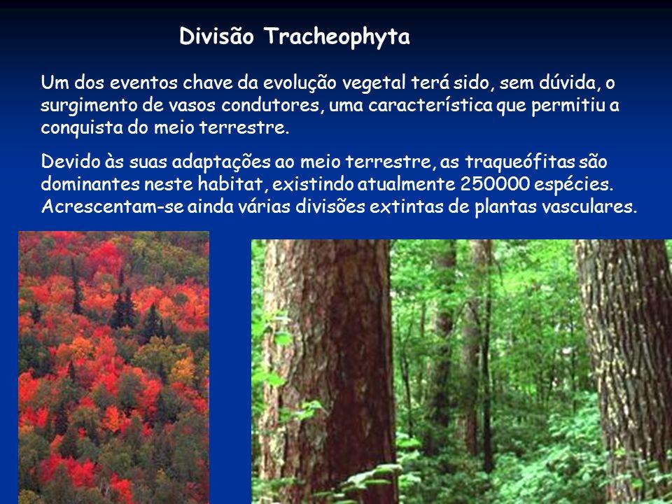 Divisão Tracheophyta