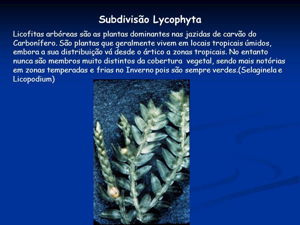 Subdivisão Lycophyta