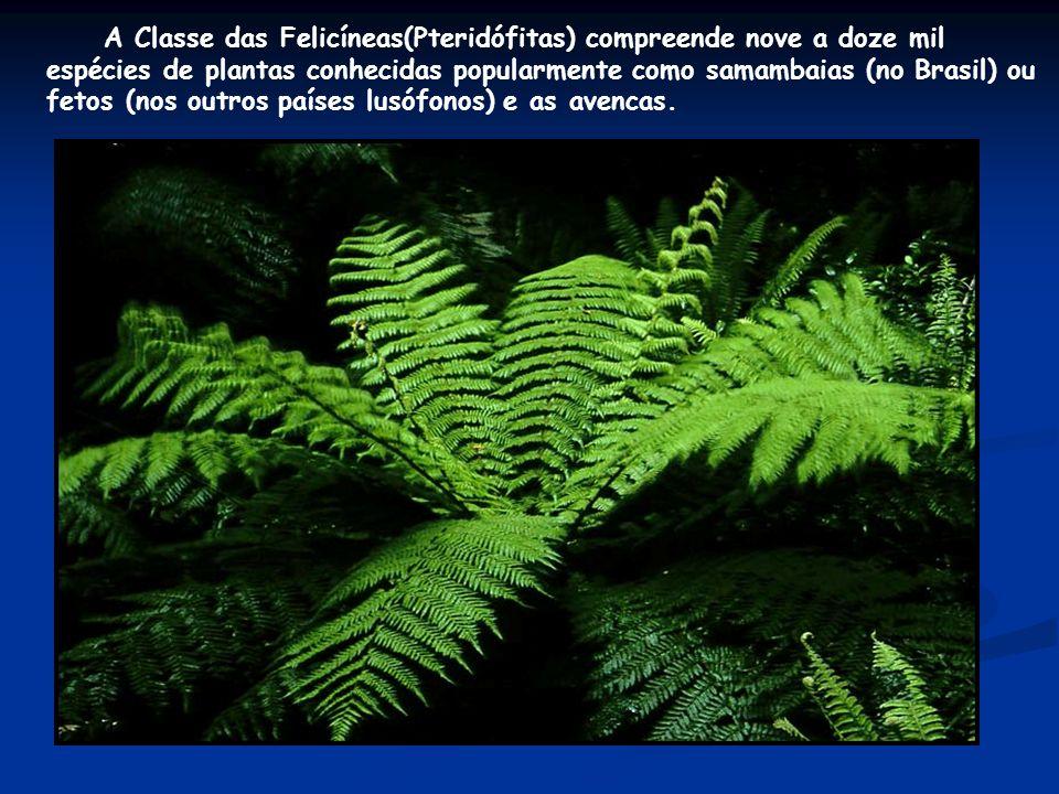 A Classe das Felicíneas(Pteridófitas) compreende nove a doze mil espécies de plantas conhecidas popularmente como samambaias (no Brasil) ou fetos (nos outros países lusófonos) e as avencas.