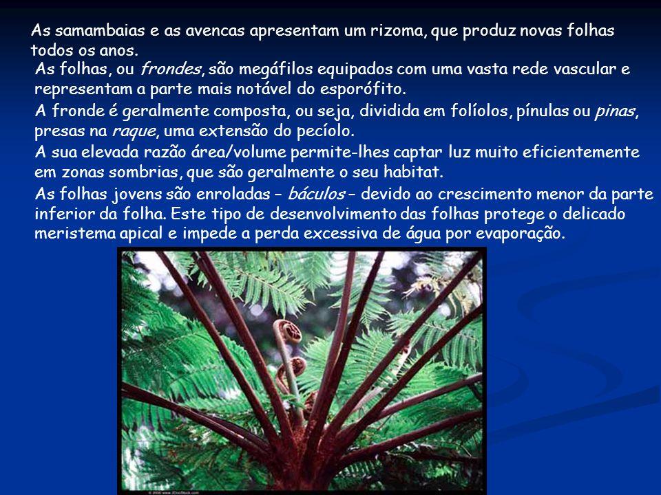 As samambaias e as avencas apresentam um rizoma, que produz novas folhas todos os anos.