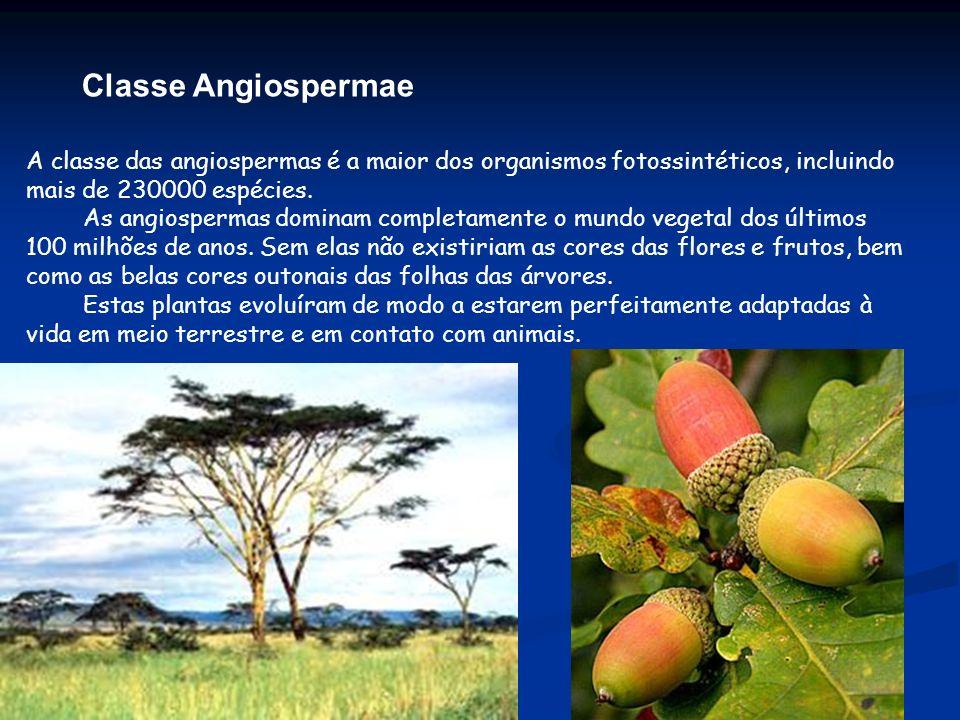 Classe Angiospermae A classe das angiospermas é a maior dos organismos fotossintéticos, incluindo mais de 230000 espécies.