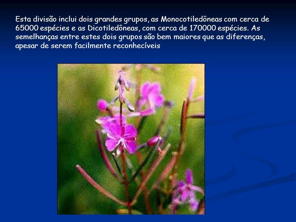 Esta divisão inclui dois grandes grupos, as Monocotiledôneas com cerca de 65000 espécies e as Dicotiledôneas, com cerca de 170000 espécies.