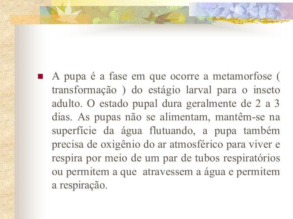 A pupa é a fase em que ocorre a metamorfose ( transformação ) do estágio larval para o inseto adulto.