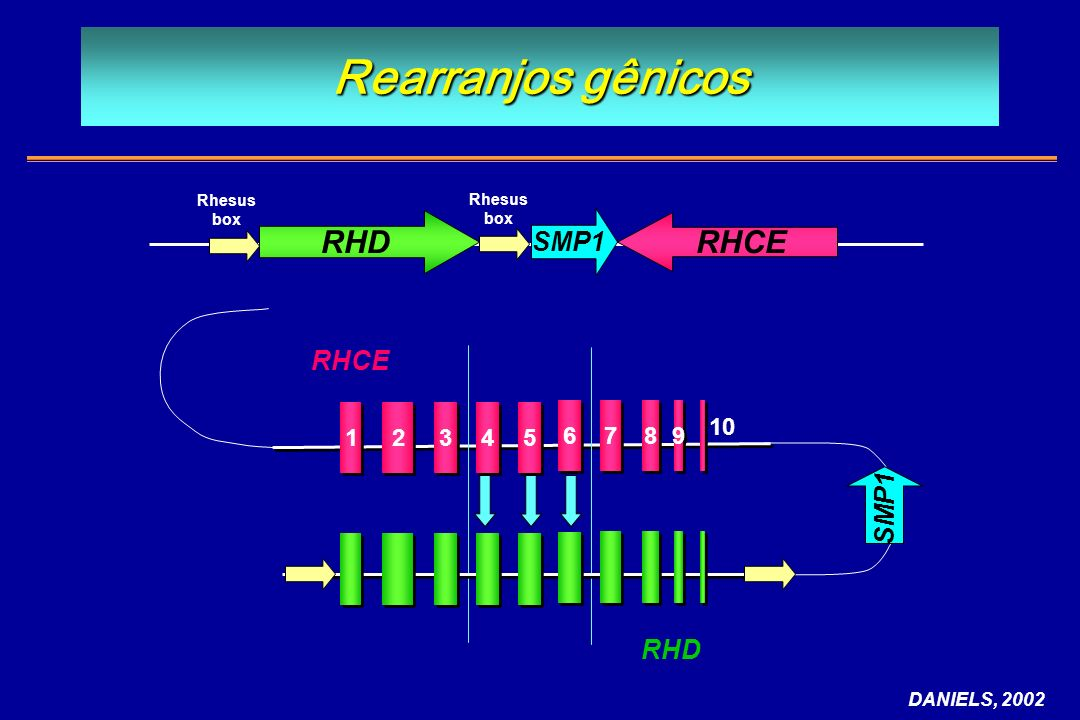 Rearranjos gênicos RHD RHCE SMP1 RHCE SMP1 RHD 1 2 3 4 5 6 7 8 9 10