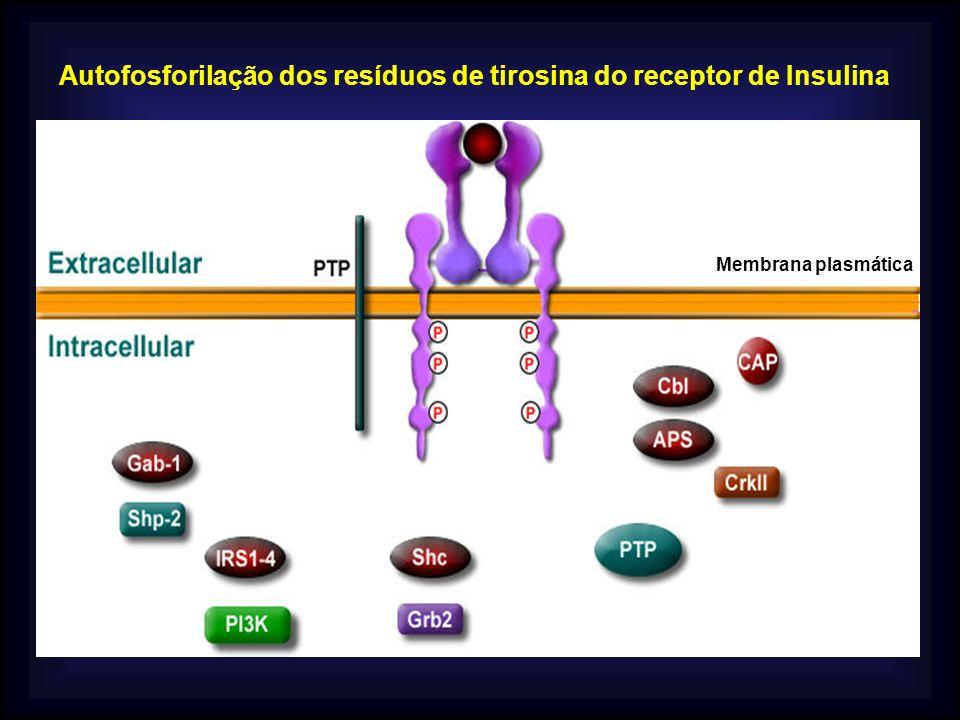 Autofosforilação dos resíduos de tirosina do receptor de Insulina