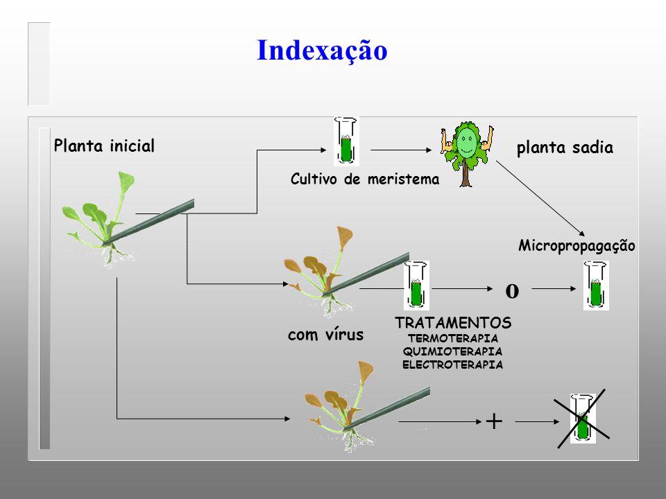 Indexação o + Planta inicial planta sadia com vírus