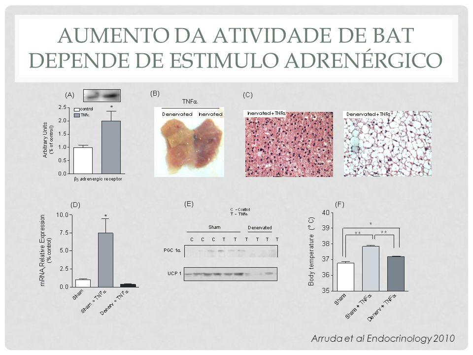 Aumento da atividade de bat depende de estimulo adrenérgico