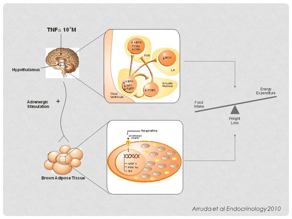 Arruda et al Endocrinology 2010