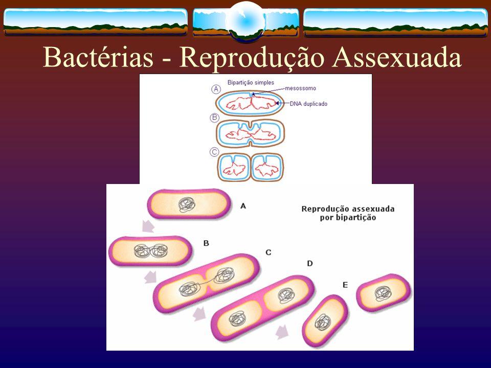 Bactérias - Reprodução Assexuada