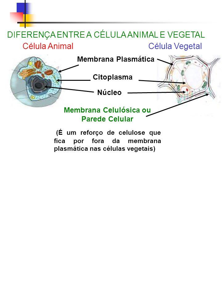 Membrana Celulósica ou Parede Celular