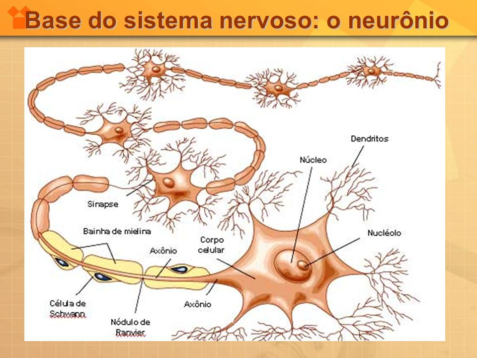 Base do sistema nervoso: o neurônio