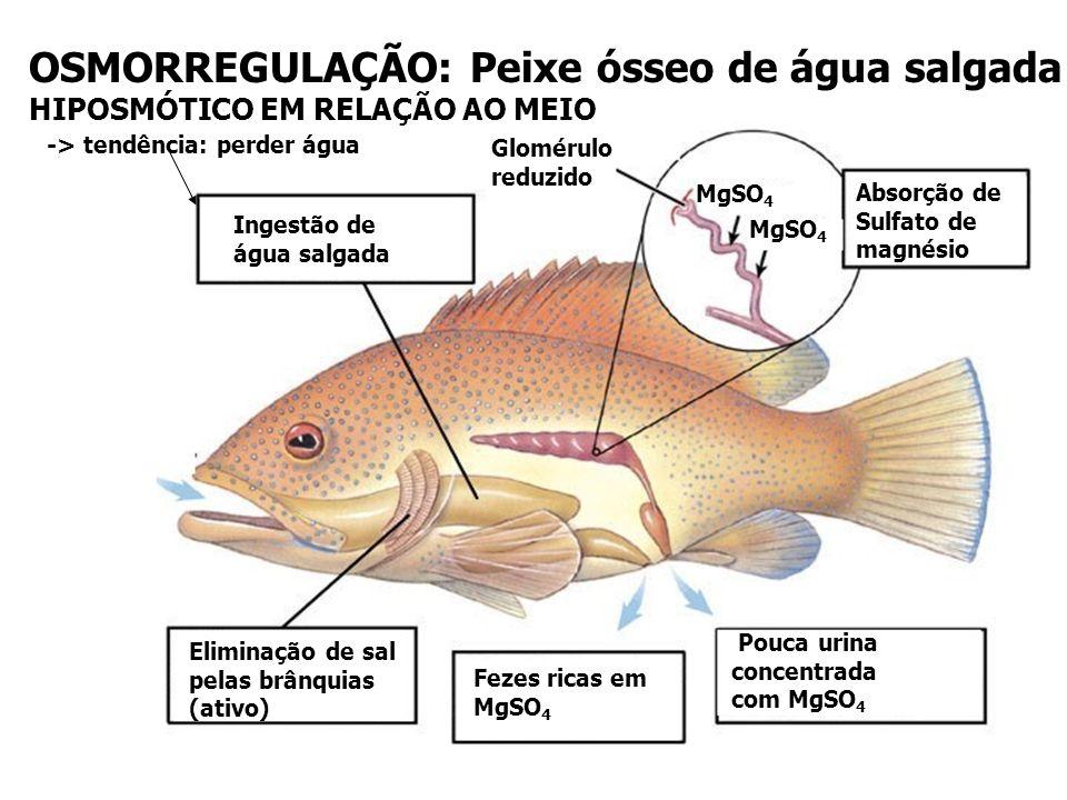 OSMORREGULAÇÃO: Peixe ósseo de água salgada