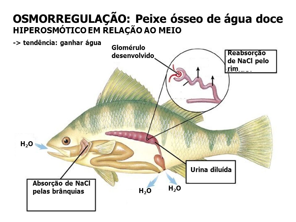 OSMORREGULAÇÃO: Peixe ósseo de água doce