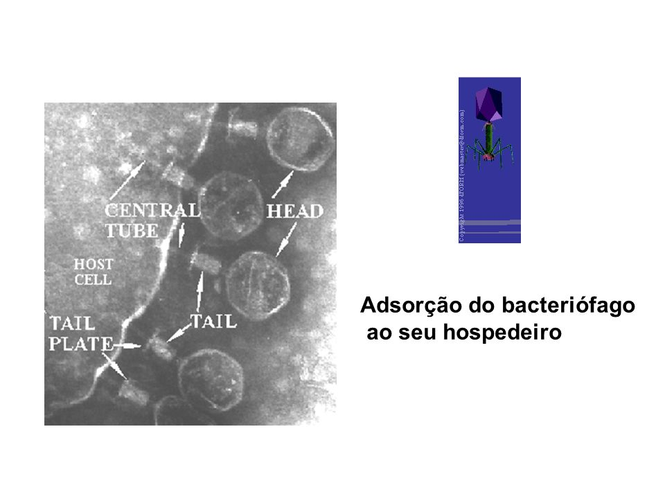 Adsorção do bacteriófago