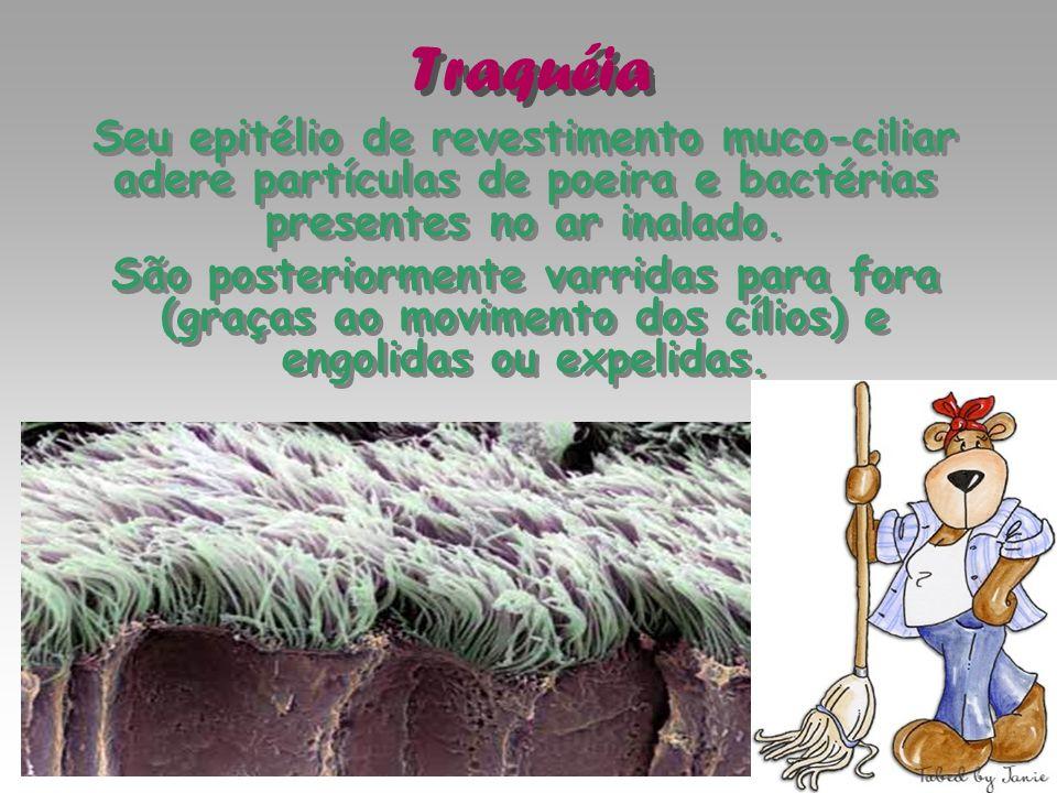 Traquéia Seu epitélio de revestimento muco-ciliar adere partículas de poeira e bactérias presentes no ar inalado.