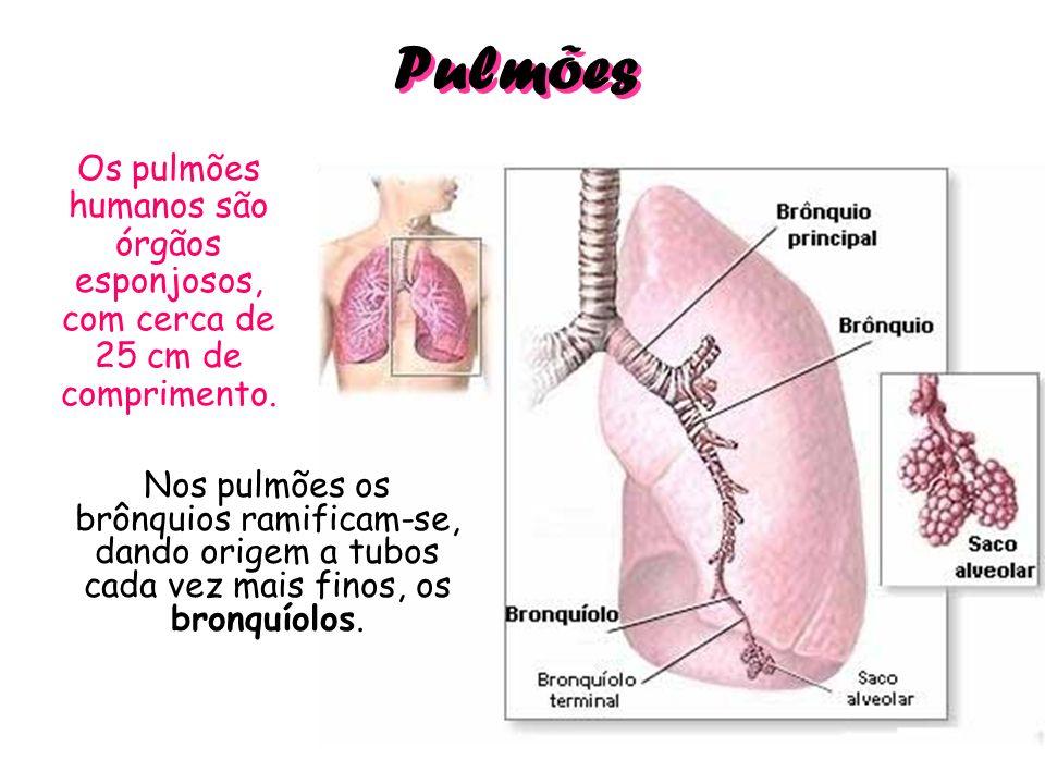 Pulmões Os pulmões humanos são órgãos esponjosos, com cerca de 25 cm de comprimento.