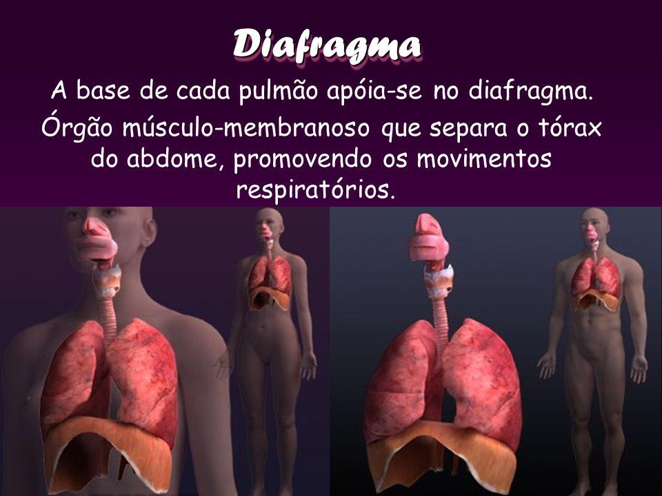 A base de cada pulmão apóia-se no diafragma.