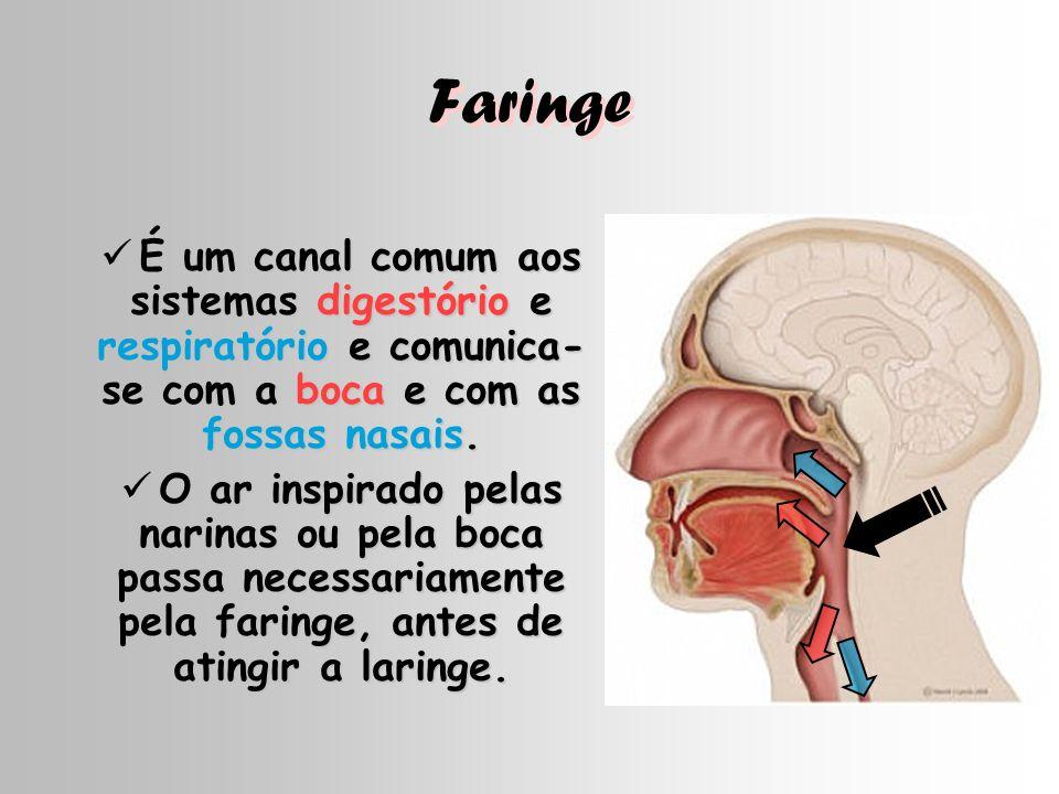 Faringe É um canal comum aos sistemas digestório e respiratório e comunica-se com a boca e com as fossas nasais.