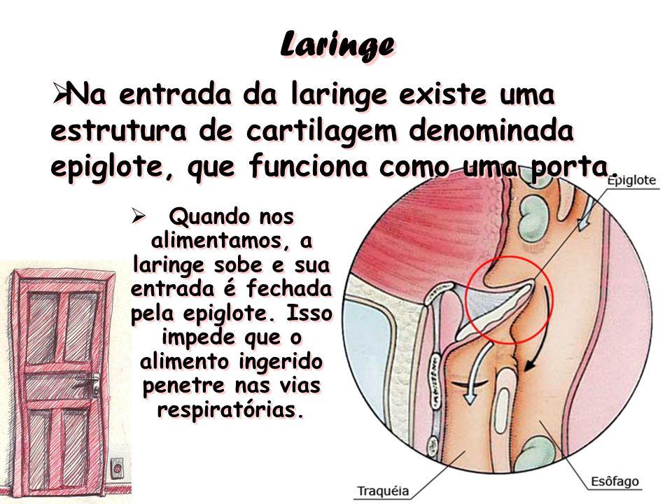 Laringe Na entrada da laringe existe uma estrutura de cartilagem denominada epiglote, que funciona como uma porta.