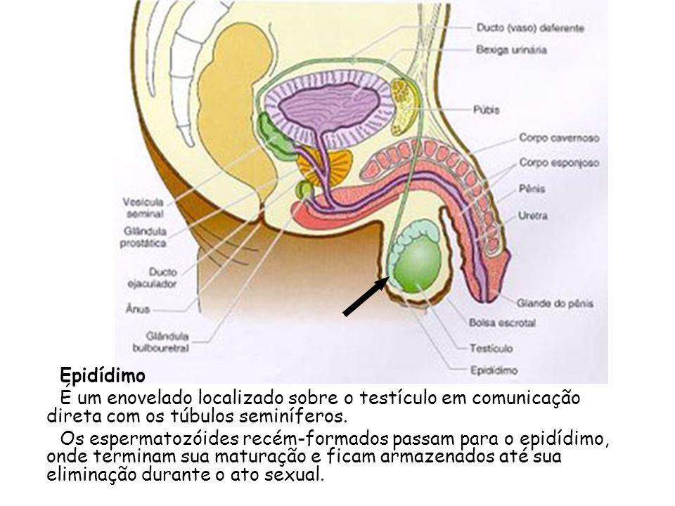 EpidídimoÉ um enovelado localizado sobre o testículo em comunicação direta com os túbulos seminíferos.