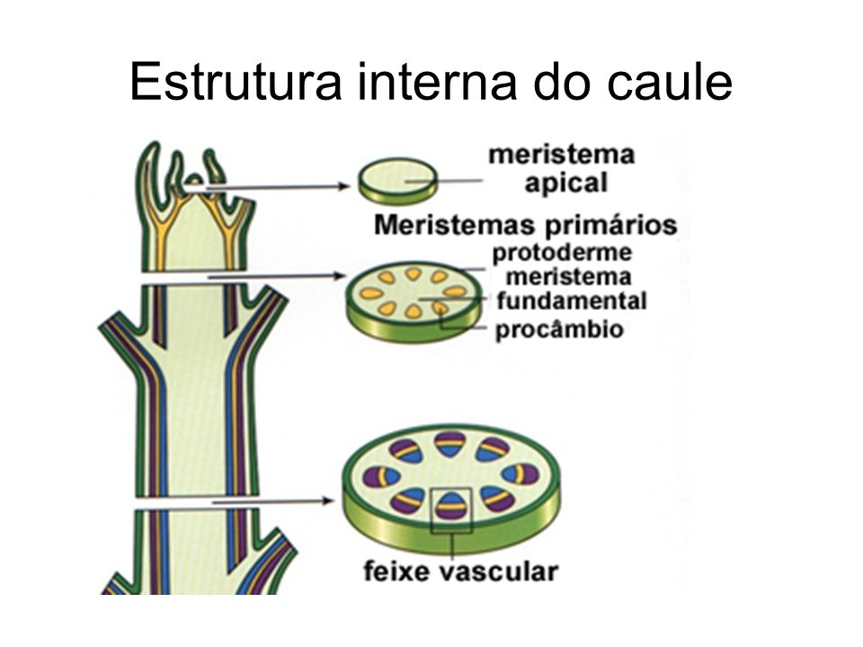 Estrutura interna do caule