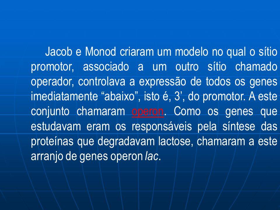 Jacob e Monod criaram um modelo no qual o sítio promotor, associado a um outro sítio chamado operador, controlava a expressão de todos os genes imediatamente abaixo , isto é, 3', do promotor.