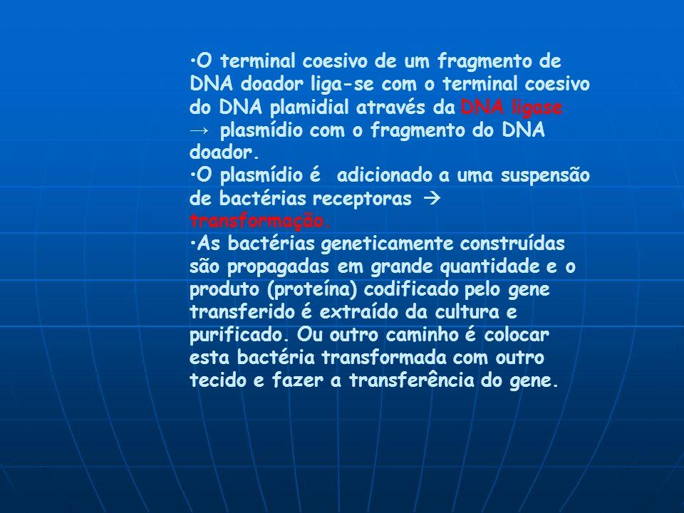 O terminal coesivo de um fragmento de DNA doador liga-se com o terminal coesivo do DNA plamidial através da DNA ligase → plasmídio com o fragmento do DNA doador.