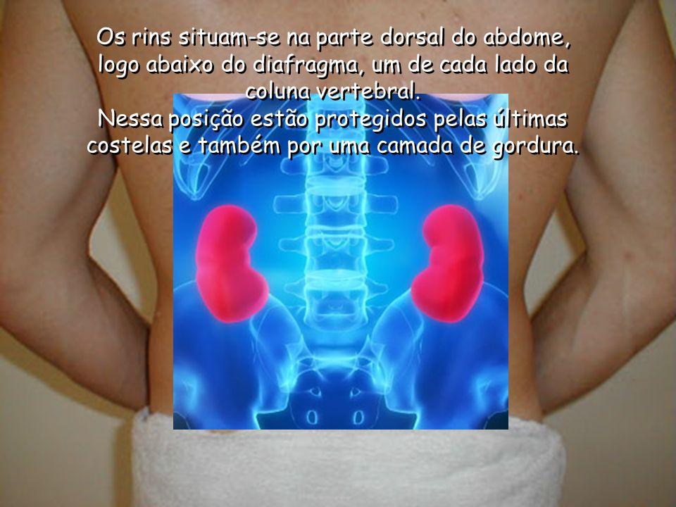 Os rins situam-se na parte dorsal do abdome, logo abaixo do diafragma, um de cada lado da coluna vertebral.