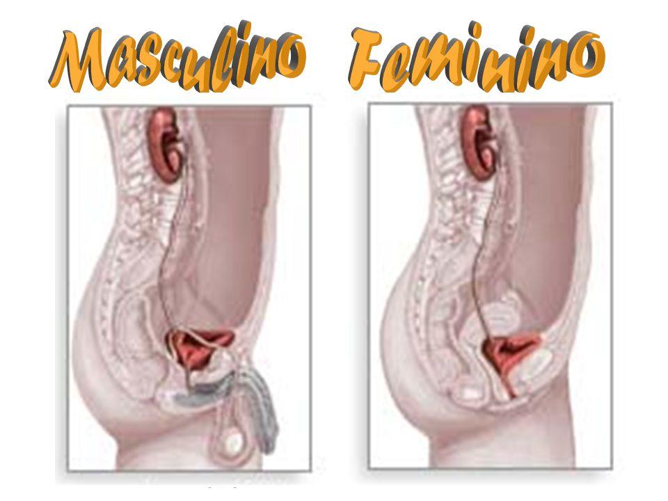 Masculino Feminino RIM Ureteres Bexiga Trompa Vesícula Seminal Bexiga