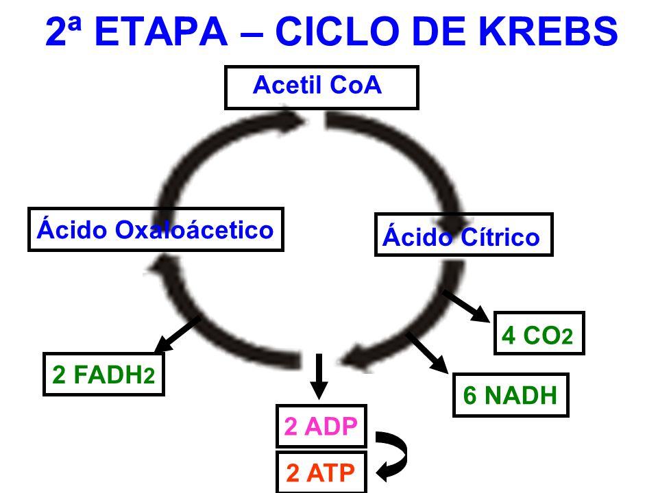 2ª ETAPA – CICLO DE KREBS Acetil CoA Ácido Oxaloácetico Ácido Cítrico