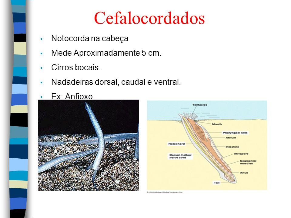 Cefalocordados Notocorda na cabeça Mede Aproximadamente 5 cm.