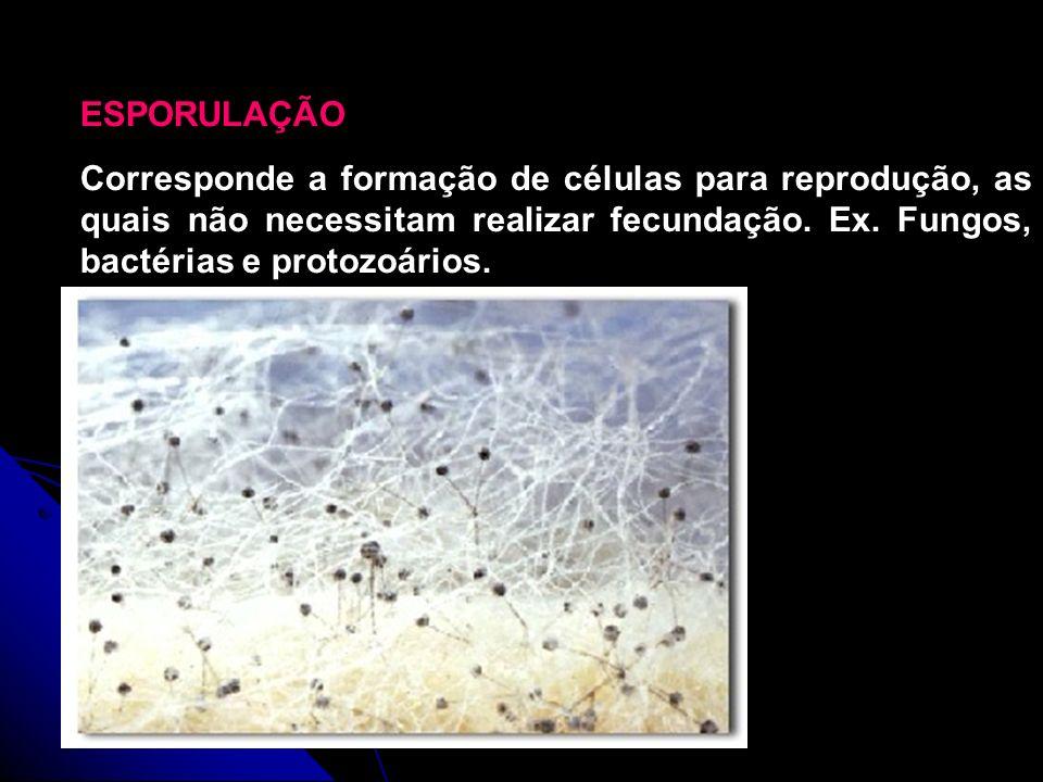 Fotografia de um Zigomycete, evidenciando os esporos