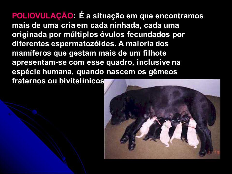 POLIOVULAÇÃO: É a situação em que encontramos mais de uma cria em cada ninhada, cada uma originada por múltiplos óvulos fecundados por diferentes espermatozóides.