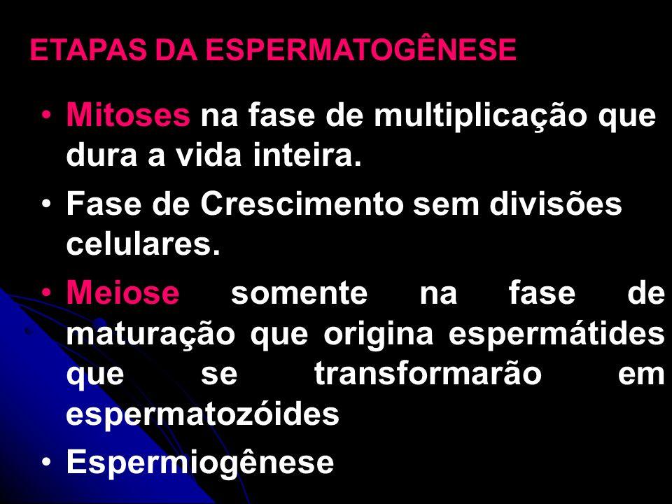 Mitoses na fase de multiplicação que dura a vida inteira.