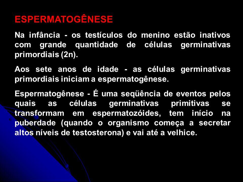 ESPERMATOGÊNESE Na infância - os testículos do menino estão inativos com grande quantidade de células germinativas primordiais (2n).