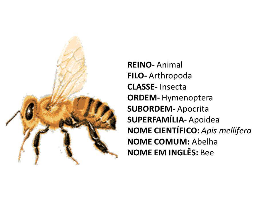 REINO- Animal FILO- Arthropoda CLASSE- Insecta ORDEM- Hymenoptera SUBORDEM- Apocrita SUPERFAMÍLIA- Apoidea